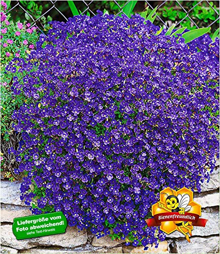 BALDUR Garten Winterharter Bodendecker Blaukissen 'Cascade Blue', 3 Pflanzen Aubrieta mehrjährig Steingarten Staude