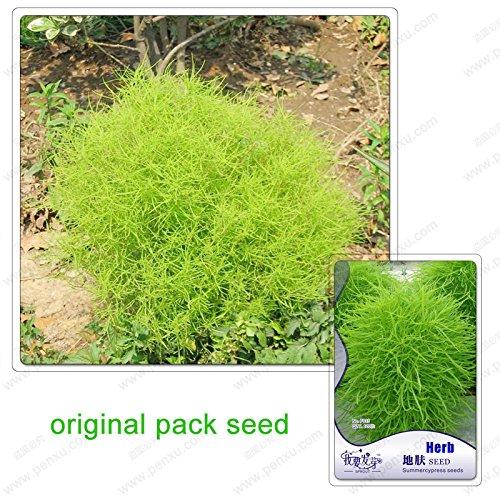 120Seeds/Pack, graines de plantes ornementales Kochia faciles à développer, des plants de balai de kochia graines de pin de paon