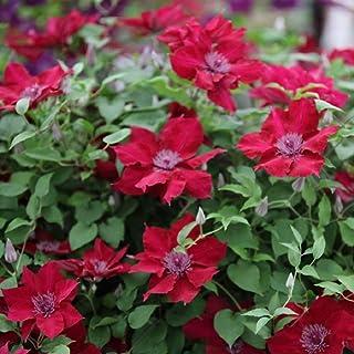 "Nubia Clematis Vine - Crimson Flowers - 2.5"" Pot"
