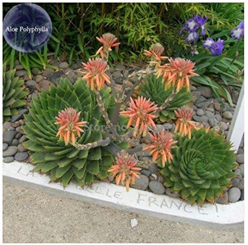 genuine Aloe Polyphyll, 1 seed, spiral aloe...