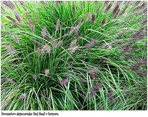 Asklepios-seeds® - 100 Samen Pennisetum...