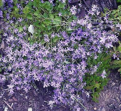 Campanula portenschlagiana Magic Blue 250 semillas