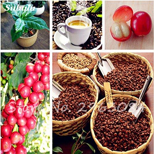 10 pièces/sac Coffea arabica Graines de café torréfié Tropical Bonsaï Graines, vivace Fruit caféier Graines jardin plante