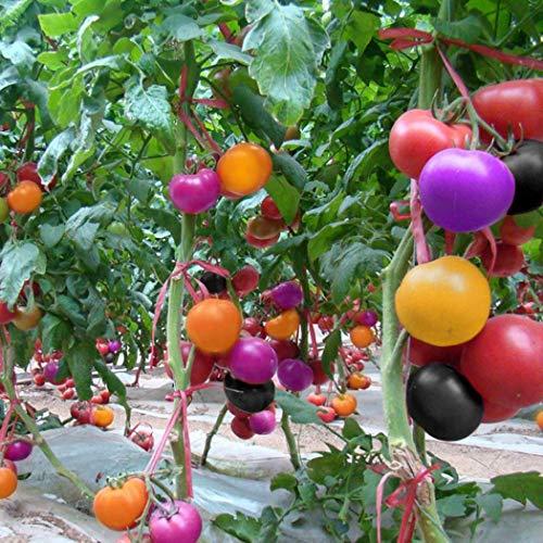 Qulista Samenhaus - 100pcs Regenbogen Veredelte runde Tomaten-Raritäten Gemüse Samen Mischung mehrjährig winterhart für den Balkongarten