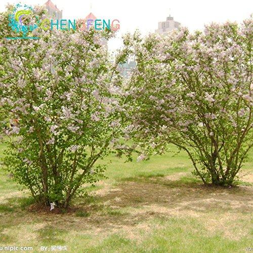 20 particules Bonsai Lilas Graines Maison & Jardin Wisteria Flower Tree Seeds Indoor / Outdoor plantes vivaces ornementales à fleurs
