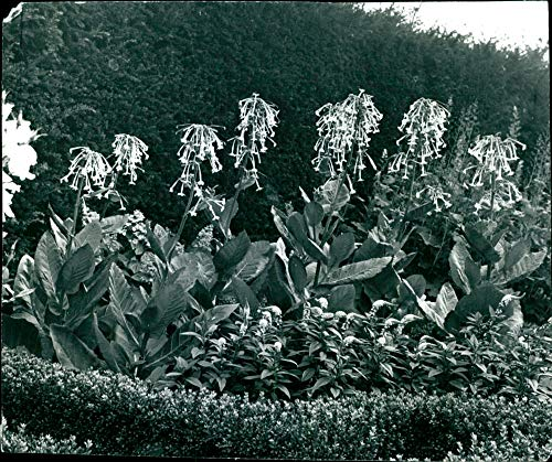 Fotomax Vintage Photo of Nicotiana sylvestris Garden with Bloomed Flower