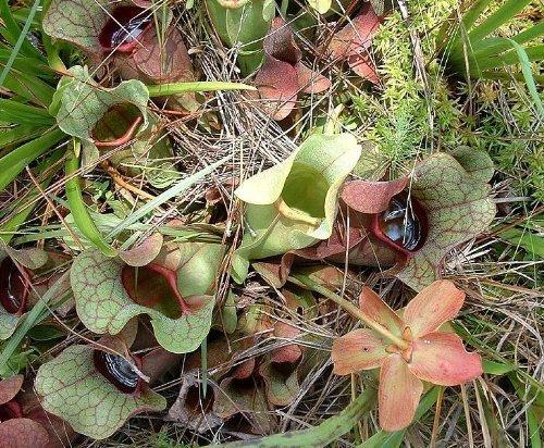10 Pichet Violet Plante carnivore (Rouge Turc/du Nord) Sarracénie Pourpre Fleur Graines par Seedville