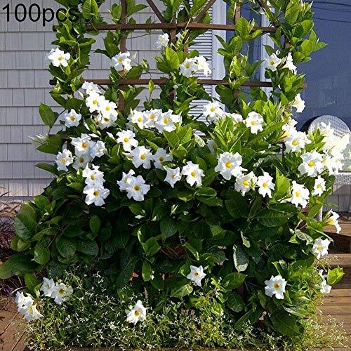 strimusimak Mandevilla Sanderi Samen, Bonsai Staude Topfzaun Kletterpflanzen Samen Blume - 100 Stk Weiß