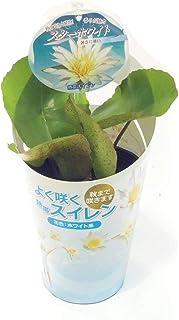 (株)赤塚植物園 ② 熱帯スイレン 4号苗 スターホワイト
