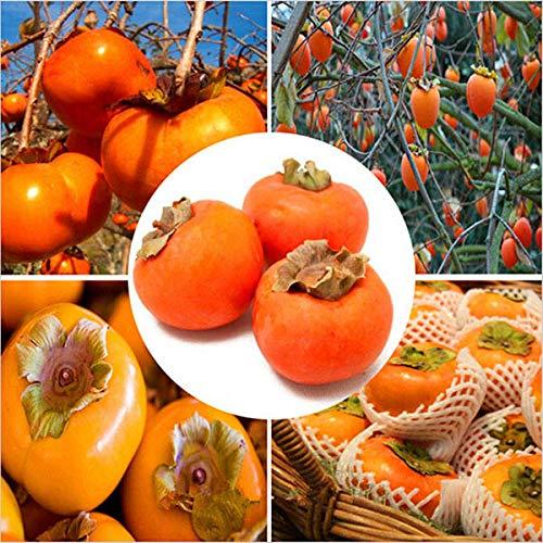 KINGDUO 30 Piezas/Pack Caqui Árbol Semillas Diospyros Kaki Fruta Semilla Hogar Jardín Bonsái Plantas