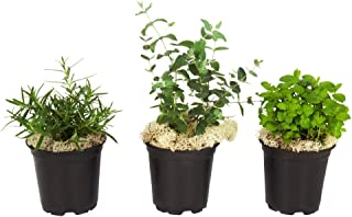 Best eucalyptus plant for sale Reviews
