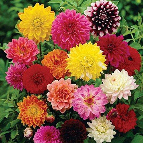 Pinkdose® Blumensamen: Dekorative Dahlie Einjährige Blühpflanzen Blumensamen Mixed Farming Samen (17 Pakete) Garten Pflanzensamen von