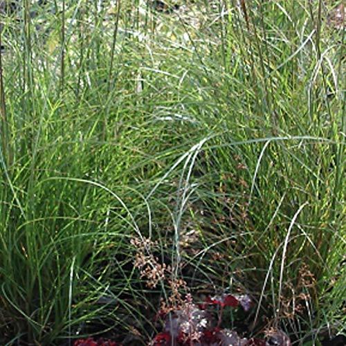 3 x Miscanthus Sinensis 'Kleine Silberspinne' - Roseau de chine 'Kleine Silberspinne'; Eulalie 'Kleine Silberspinne' en conteneur 25-30cm