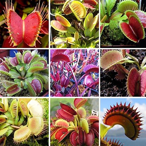 RETS 3 Kategorie Flytrap Bonsai Topf muscipula Pflanze Terrasse Garten Fleisch fressende Pflanze 1 Paket 100 Stück