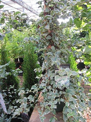 Hydrangea petiolares Silver Lining - weißbunte Kletterhortensie 80-100