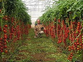 Tomato Seeds Tsifomandra (tree tomato) Vegetable Seeds. 25 SEEDS