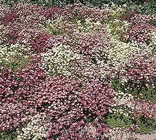 saxifraga mossy white