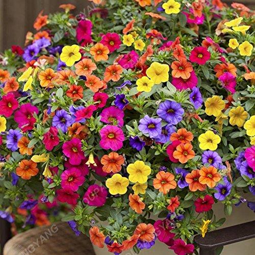 200pcs Bonsai couleurs mélangées Graines Petunia Belle Graines de fleurs Jardin Plante Pétunia Graine Balcon cadeau rare Décoration Noir