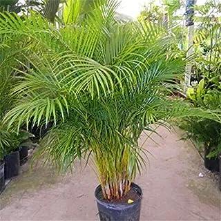 20 PC Bonsai Palmera semillas de bambú Plantas semillas para el jardín