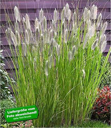 BALDUR-Garten Lampenputzergras Magic,1 Pflanze Pennisetum, Ziergras