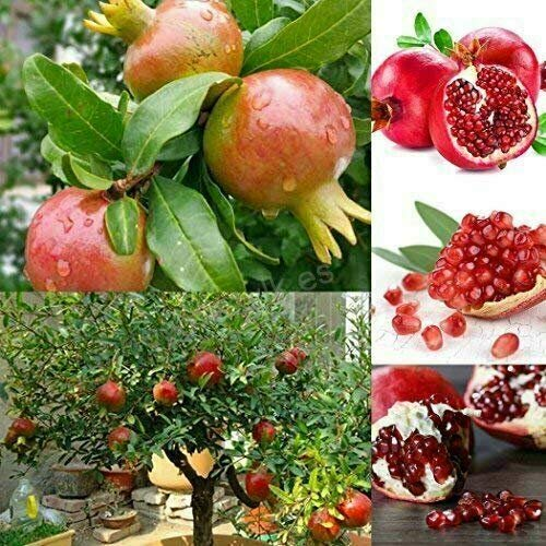100Pcs/Lot, Bonsai Pomegranate Seeds Very Sweet Delicious Fruit, Succulents Tree - Ship from US by US Seller.