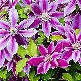 Hermosas Plantas De Decoración Del Hogar Con Encanto Agradable Impresionante Balcón Jardinería-12Rizoma de clemátide
