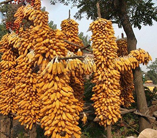 20 graines/pack semences de maïs cireux noir noir collant maïs semences de maïs cireux noir bonsaï végétale organique