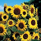 100 Sunflower Seeds Easy to Grow Herb Seeds Home Garden Decoration...