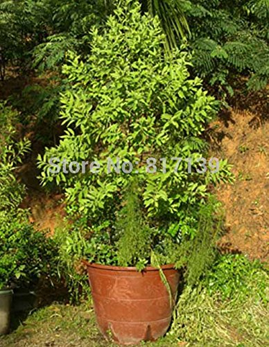 DIY 5 Samen Hausgarten Pflanze Santalum Album, Weiß Sandelholz, Indian Sandalwood Baum sät freies Verschiffen