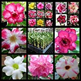 Desert Rose Seeds Mixed Colors Adenium Obesum 100 Pack Single and Multi Colored Flowers