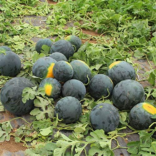 AGROBITS Graines de pastèque noir Super Sweet melon d'eau usine de légumes fruits très nutritifs Accueil Jardinage 10 graines/paquet
