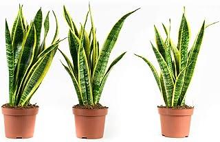 Plantas de interior de Botanicly – 3 × Sansevieria Laurentie – Altura: 30 cm