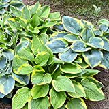 Hosta Bumper Crop Mix - 10 Bare Root Hostas - Fabulous Color for Shady Gardens | Ships fro...