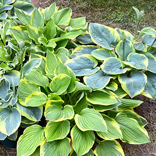Hosta Bumper Crop Mix | 10 Bare Root Hostas - Fabulous Color for Shady Gardens | Ships from Easy to...
