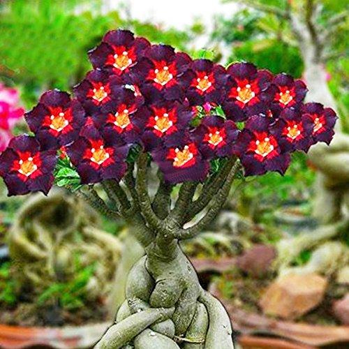 Rare Rare Brown Black Adenium Desert Rose with Fire Red Heart Flower, 2 seeds, bonsai compact single petal flowers E3959