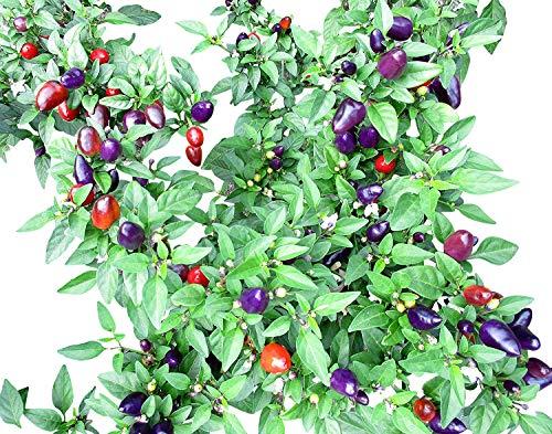 Purple Loco Chili 10 Samen -Der Blickfang im Garten-