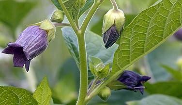 Asklepios-seeds® - 500 Semillas de Atropa belladonna