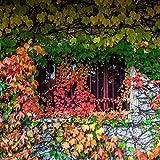 MURIEO jardín- 50pcs Parthenocissus plantas trepadoras, hiedra mameluco plantas ornamentales semillas jardín perenne resistente, casa, pared deco anti-radiación semillas