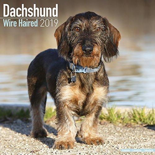 Dachshund Wire Haired Calendar 2019