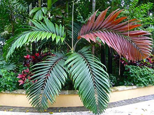 FERRY Bio-Saatgut Nicht nur Pflanzen: Chambeyronia macrocarpa Hooi 100 Seeds Pm Rare