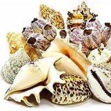 MGS SHOP DEKOMUSCHELN - Mix XXL mit Seepocken schöne echte große Muscheln zum Dekorieren & Basteln
