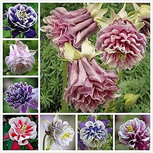 500pcs Mix Aquilegia Samen Für Pflanzen Mehrjährige Kraut Blühende In Sommer Columbine Blumen Pflegeleicht Einzigartige Dekoration