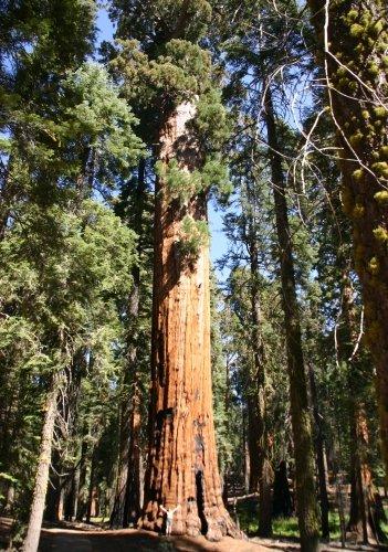 TROPICA - Riesen-Mammutbaum (Sequoiadendron gigantea) - 110 Samen/Sonderselektion