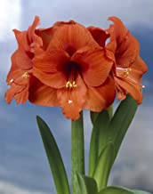 Best cheap amaryllis for sale Reviews