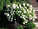AchmadAnam - Live Plant - Pee Gee Hydrangea - Shipped 1 to 2 Feet Tall