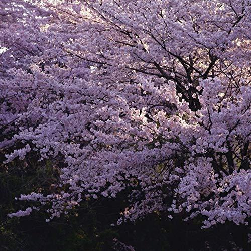 15 Semillas de Flor de Cerezo Japones (Sakura)