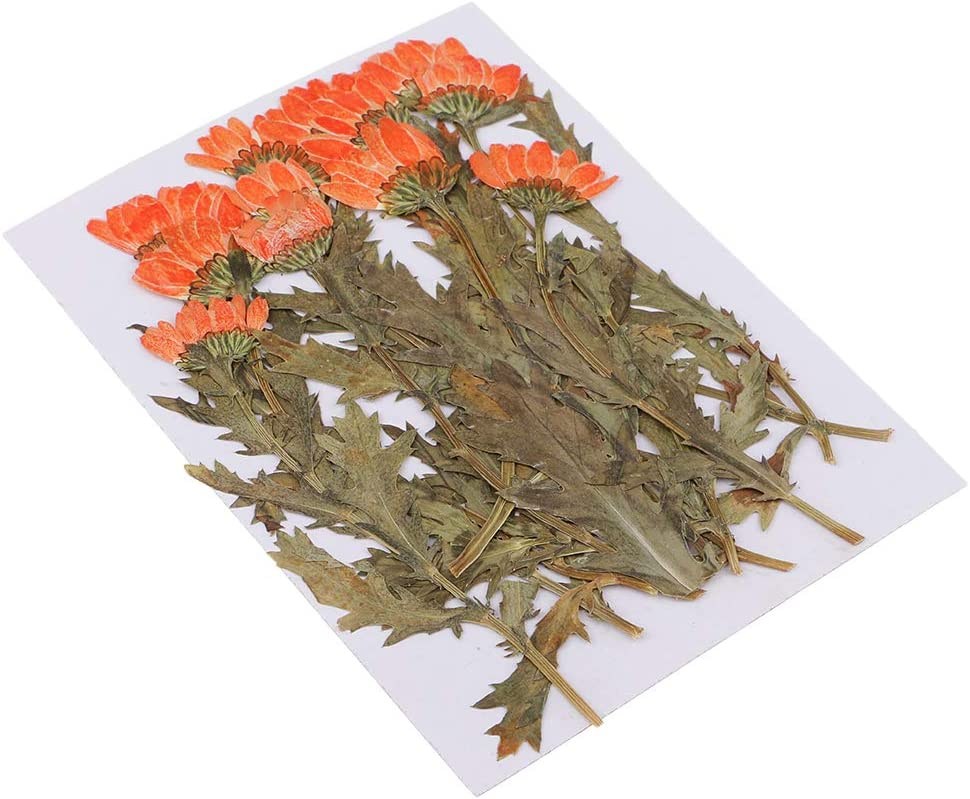 12 Pieces Multiple Real Pressed Flowers 100% quality quality assurance warranty Flo Dried Chrysanthemum