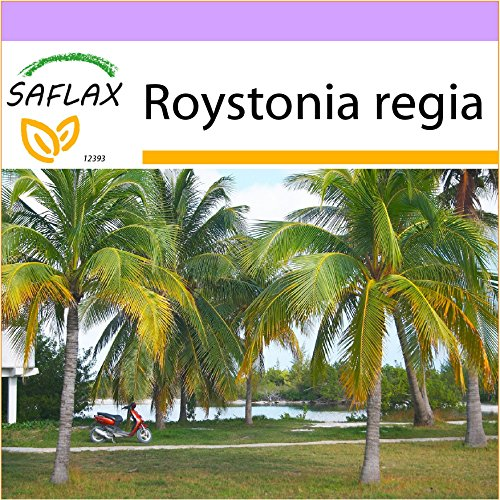 SAFLAX - Palmera real cubana - 8 semillas - Roystonia regia