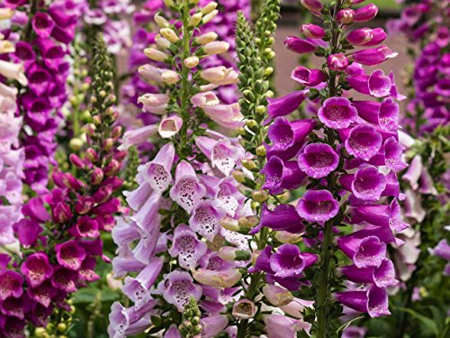 Foxglove Digitalis Giant Mix Seeds Flowers Beautiful for Planting Non GMO 600...