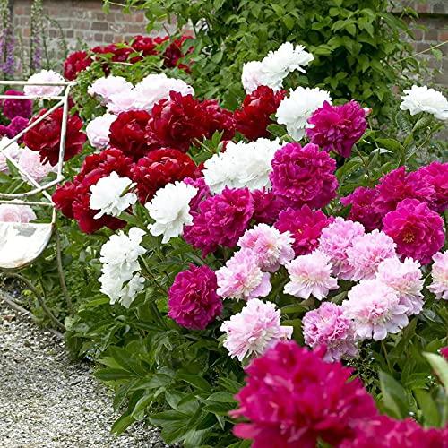 50 Pcs Seeds Peony Mix Seeds | Non-GMO | Outdoor Indoor Home Bonsai Seeds Fresh Garden Seeds, Gardeners Choice!
